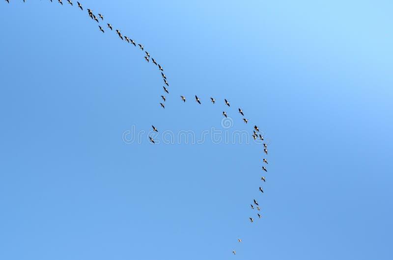 Una multitud de los gansos que vuelan contra la migración del cielo azul del sur o del norte foto de archivo libre de regalías