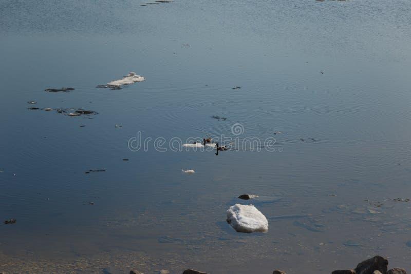 Una multitud de los patos salvajes que nadan en el r?o despu?s de invierno fotografía de archivo libre de regalías