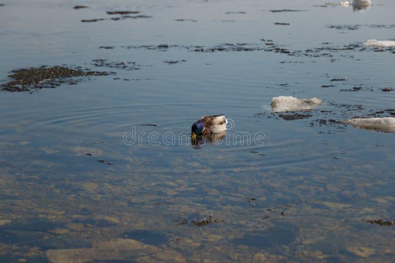 Una multitud de los patos salvajes que nadan en el r?o despu?s de invierno fotos de archivo libres de regalías