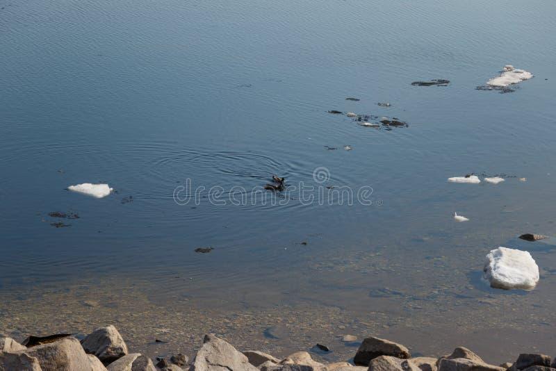 Una multitud de los patos salvajes que nadan en el r?o despu?s de invierno fotos de archivo