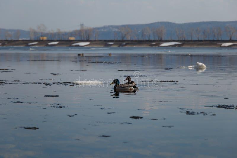 Una multitud de los patos salvajes que nadan en el r?o despu?s de invierno foto de archivo libre de regalías