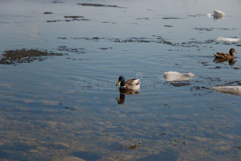 Una multitud de los patos salvajes que nadan en el r?o despu?s de invierno imágenes de archivo libres de regalías