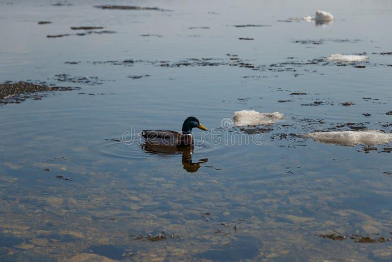 Una multitud de los patos salvajes que nadan en el r?o despu?s de invierno Los patos nadan en agua helada del invierno fotografía de archivo libre de regalías