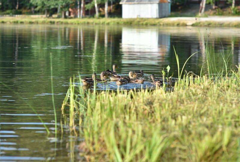 Una multitud de los patos silvestres de los patos salvajes nada cerca de la orilla del lago fotografía de archivo