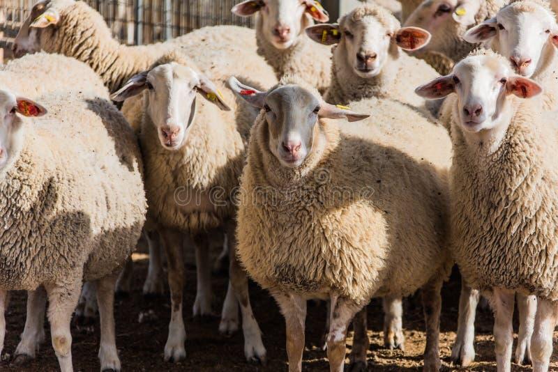 Una multitud de ovejas fotografía de archivo