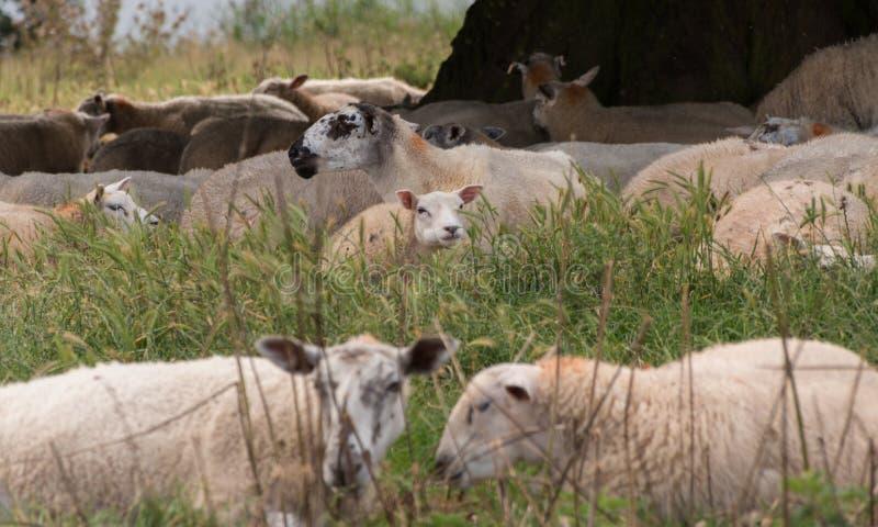 Una multitud de ovejas en un prado fotos de archivo