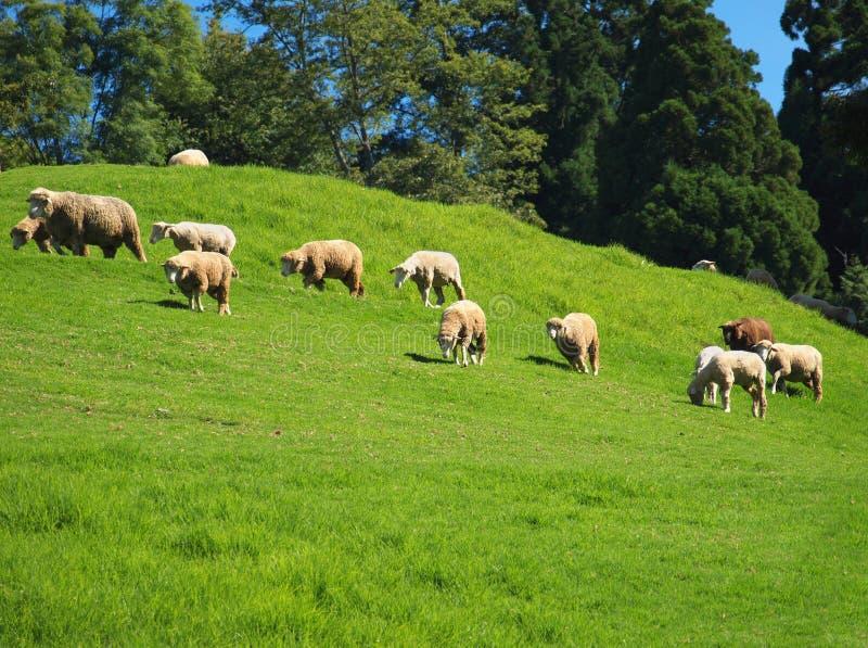 Una multitud de ovejas pasta en borrachín fotografía de archivo libre de regalías