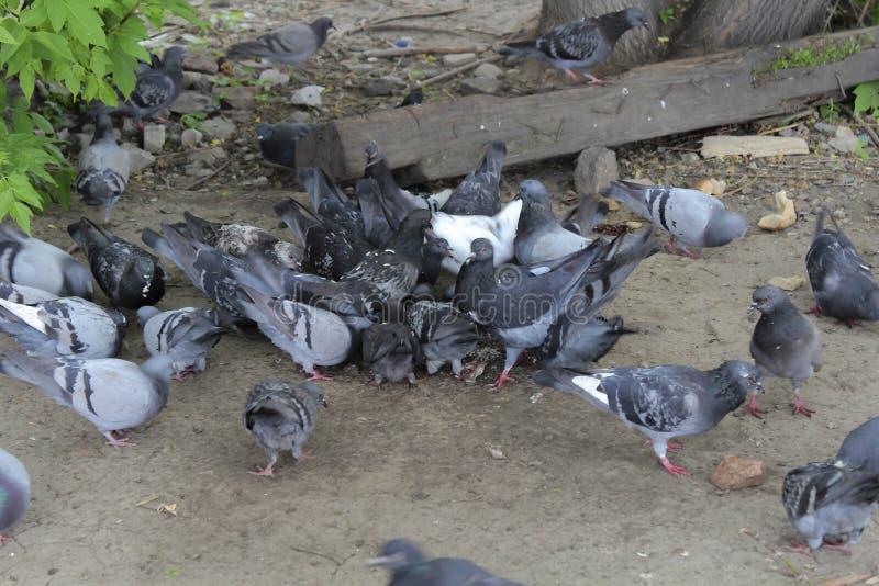 Una multitud de palomas foto de archivo
