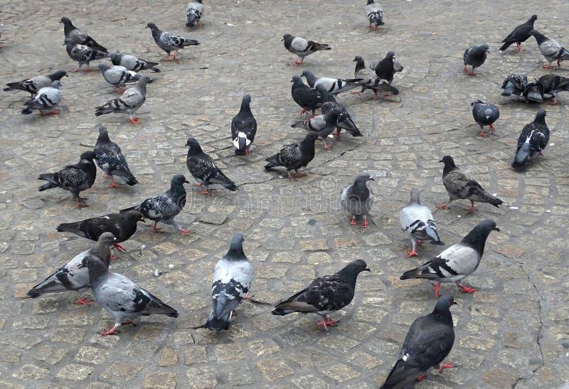 Una multitud de palomas fotos de archivo