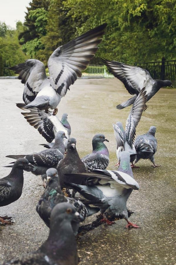 Una multitud de palomas en el parque fotografía de archivo