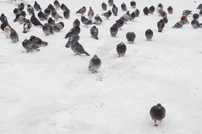 Una multitud de palomas en la nieve fotografía de archivo