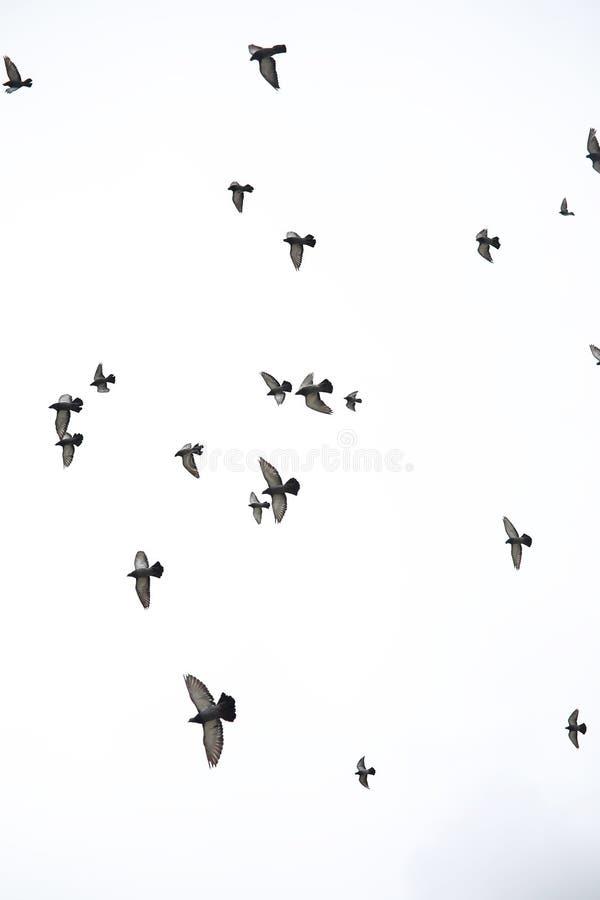 Una multitud de palomas vuela a través del cielo Los pájaros vuelan contra el s foto de archivo libre de regalías