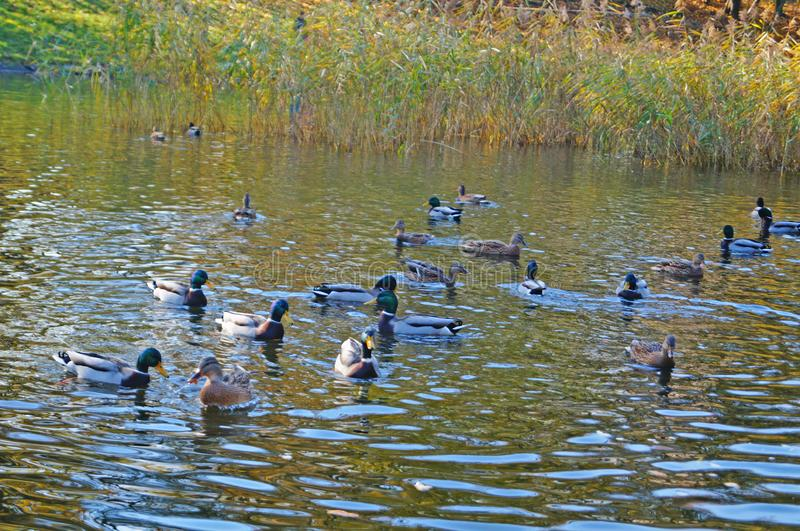 Una multitud de patos nada en un lago en un parque imagen de archivo libre de regalías