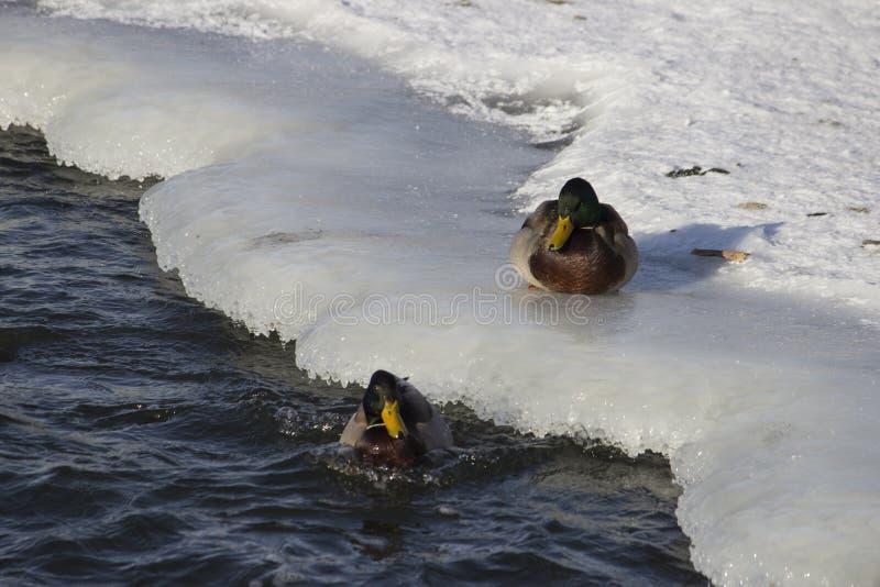 Una multitud de patos salvajes en el río del invierno foto de archivo libre de regalías