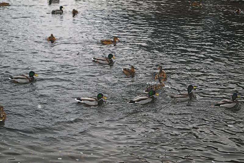 Una multitud de patos salvajes nada en el río fotos de archivo