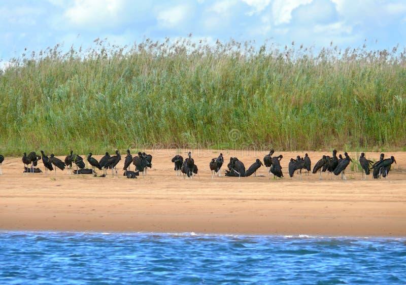Una multitud de pelícanos negros acerca al agua. imagen de archivo libre de regalías
