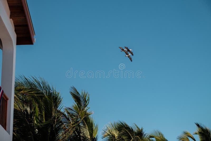 Una multitud de tres pelícanos marrones vuela sobre las palmeras foto de archivo libre de regalías