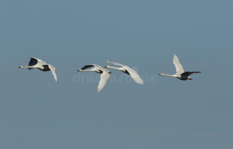 Una multitud del vuelo imponente del cygnus del Cygnus del cisne de Whooper en el cielo azul imagen de archivo libre de regalías