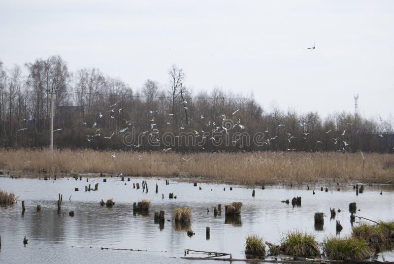 Una multitud grande de pájaros salvajes gulls el vuelo caótico fotografía de archivo