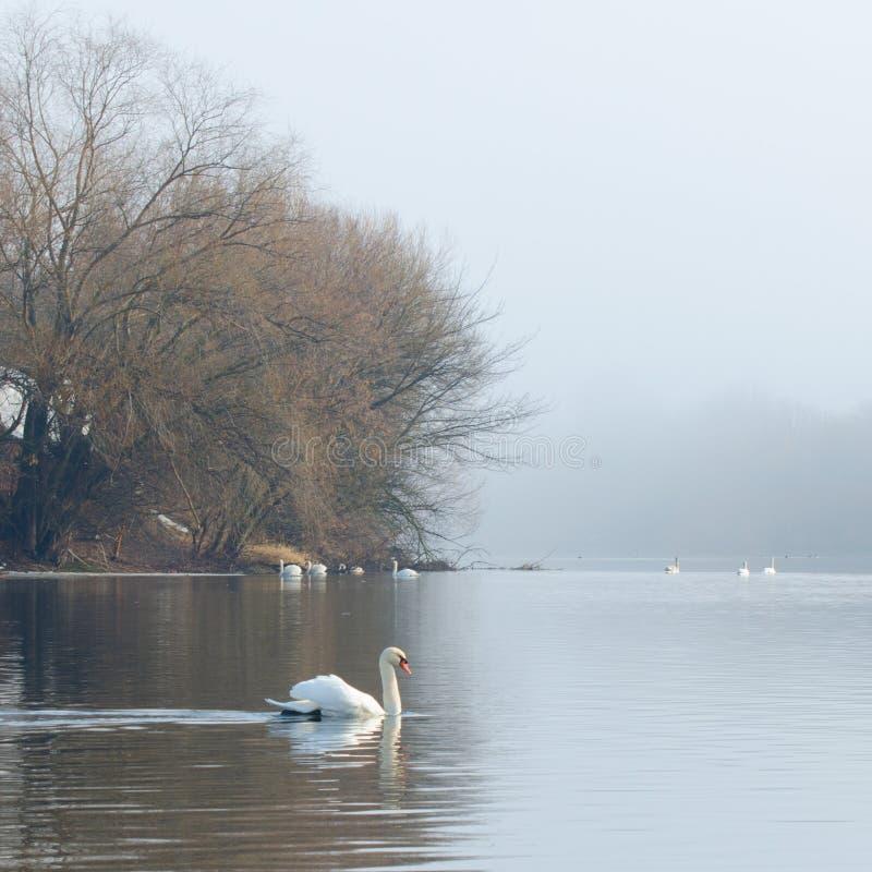 Una nadada del cisne en el lago en primavera temprana Estos pájaros necesitan la protección imagen de archivo