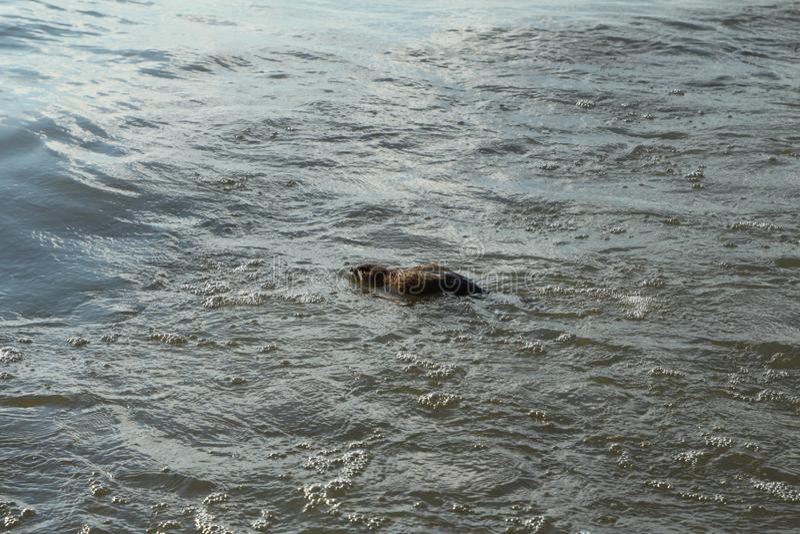 Una natación del muskrat en el agua fotos de archivo