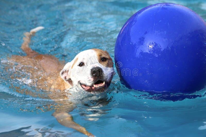 Una natación feliz del perro fotografía de archivo libre de regalías