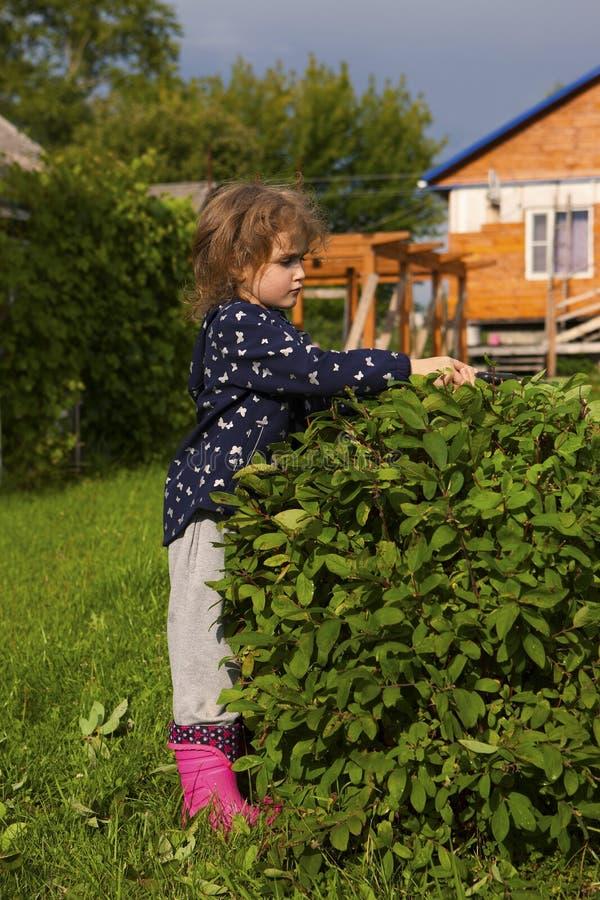 Una niña en la poda del campo una madreselva Bush en el jardín imagenes de archivo