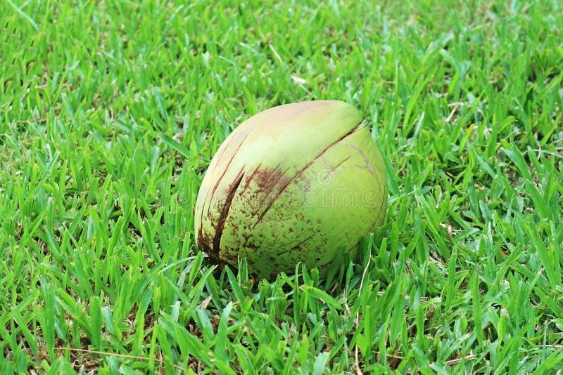 Una noce di cocco isolata sul campo immagini stock libere da diritti