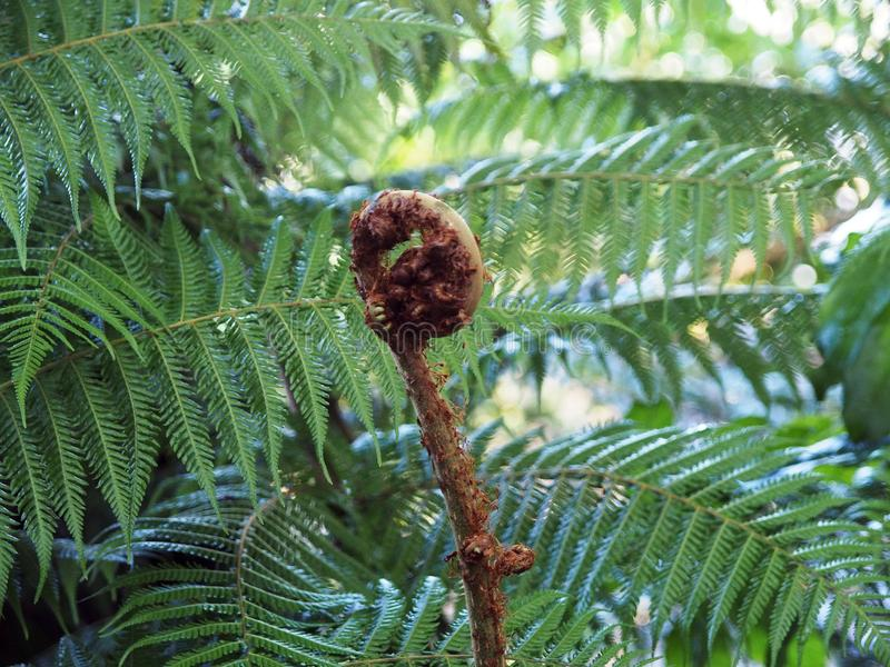 Una nueva fronda en un helecho de árbol fotos de archivo
