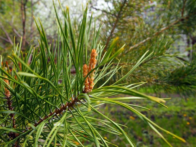 Una nueva semilla apareci? en la rama del pino fotografía de archivo