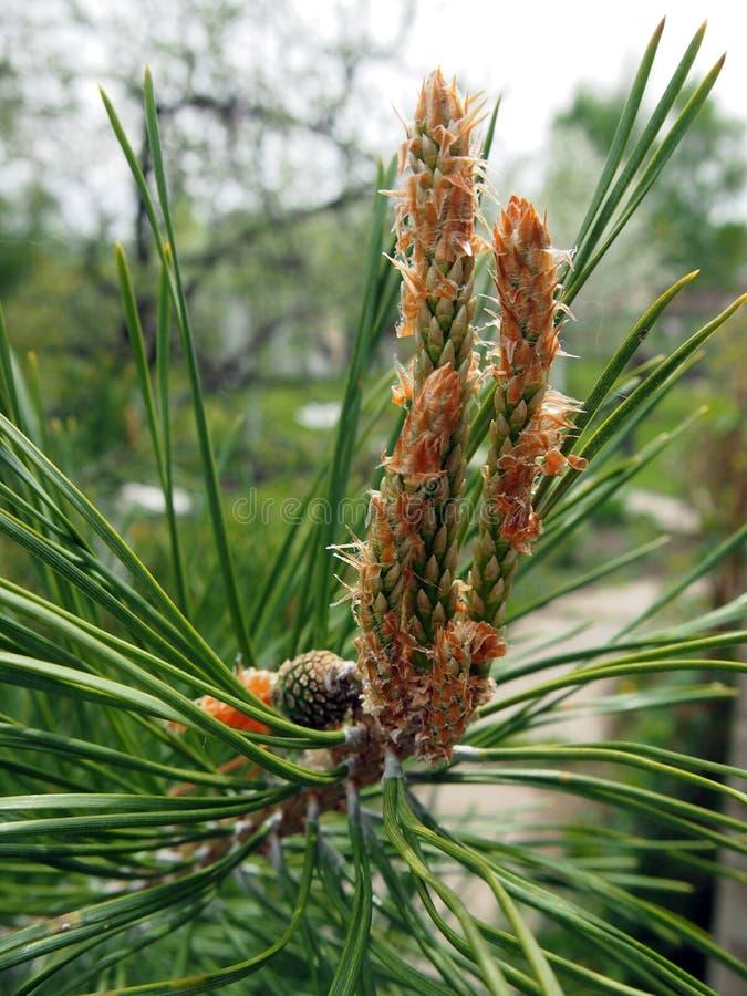 Una nueva semilla apareci? en la rama del pino imagen de archivo