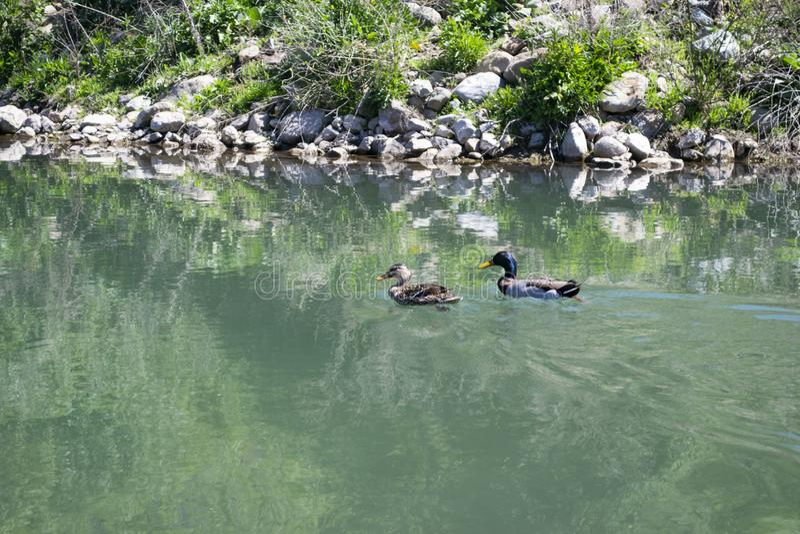 Una nuotata di due anatre nello stagno fotografia stock