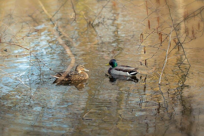 Una nuotata di due anatre nello stagno fotografia stock libera da diritti