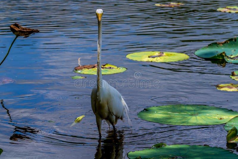Una opinión de frente inusual una gran garceta blanca salvaje, (Ardea alba) entre Lotus Water Lilies en Tejas. imagen de archivo