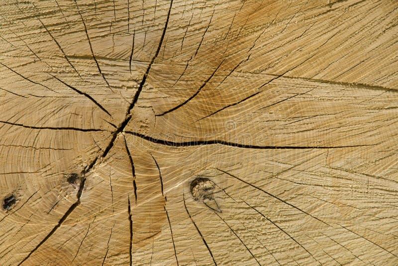 Una opinión del primer de la textura de un corte natural de un árbol de haya imagen de archivo libre de regalías