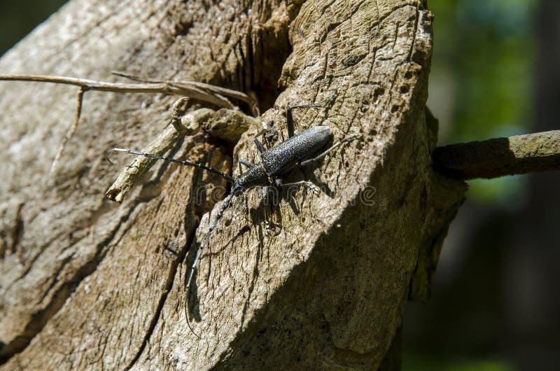 Una opinión del primer un escarabajo negro con los roedores largos que suben un tocón de madera foto de archivo libre de regalías