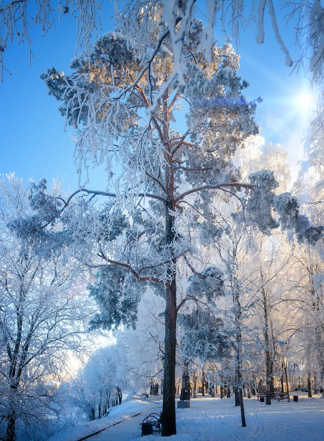 Una opinión el pino helada-cubierto fotografía de archivo