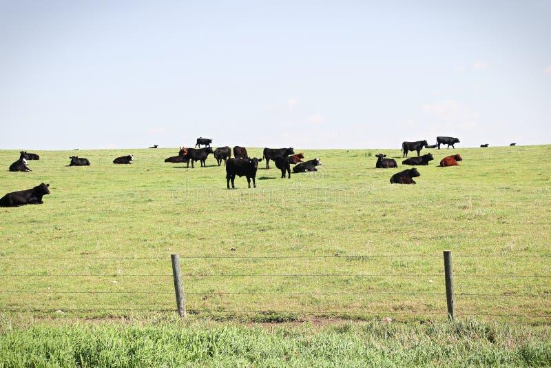 Una opinión las vacas que pastan en una colina del pasto fotografía de archivo libre de regalías