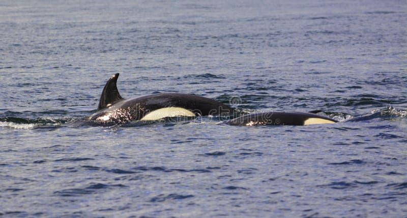 una orca se está zambulliendo debajo imagen de archivo