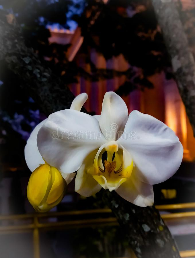 Una orquídea blanca hermosa en fondo borroso fotos de archivo libres de regalías