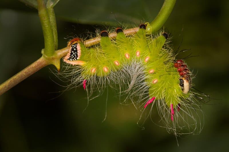 Una oruga colorida de una polilla foto de archivo