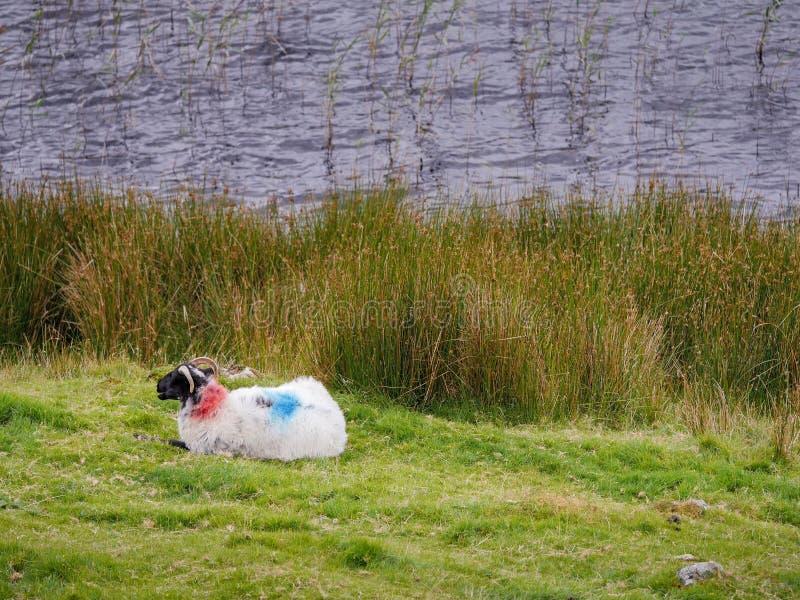 Una oveja blanca con el marcado de color en su espalda sobre una bahía de hierba un río imagen de archivo
