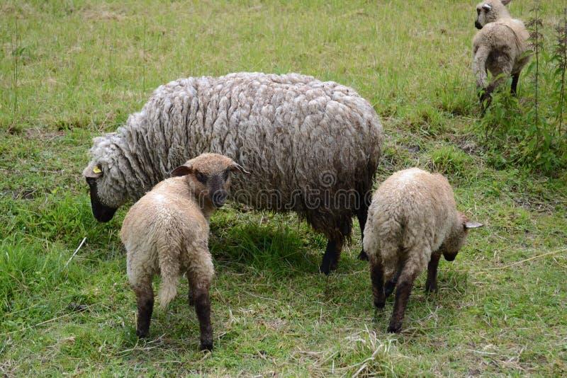 Una oveja con los corderos que pastan en un pasto foto de archivo libre de regalías