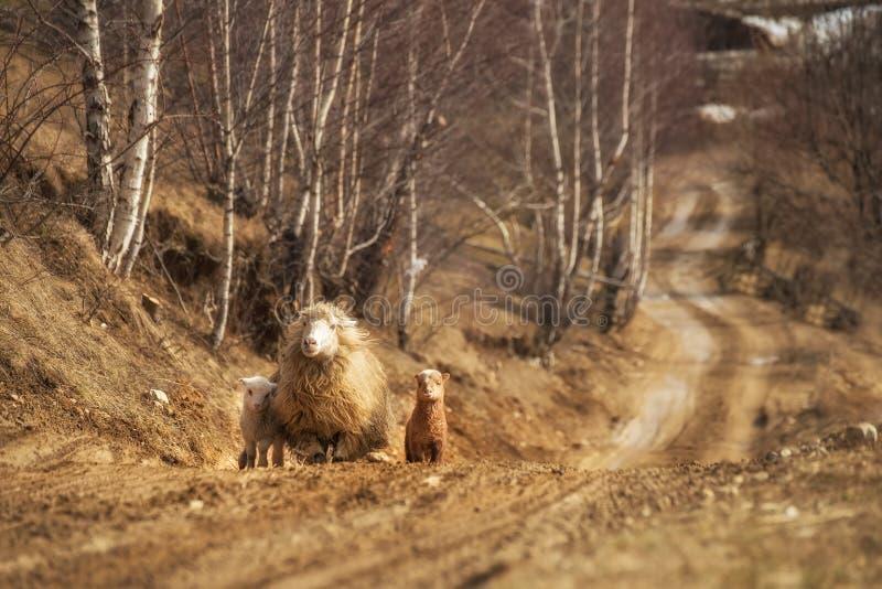 Una oveja con los pequeños cachorros imagenes de archivo
