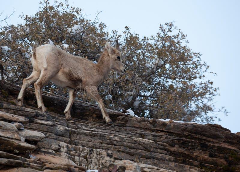 Una oveja de cuernos grande del desierto joven camina a lo largo del top de un acantilado de la piedra arenisca roja fotografía de archivo libre de regalías