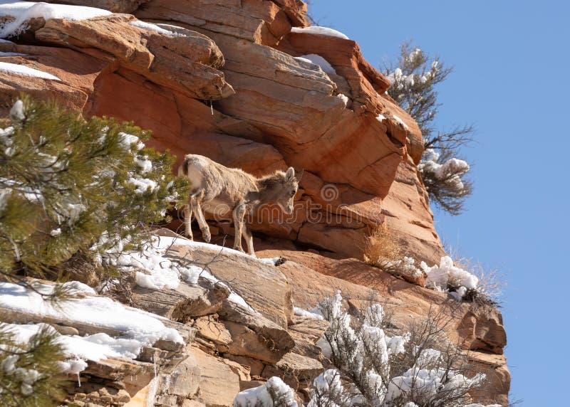 Una oveja de cuernos grande del desierto joven se coloca en una alta repisa rocosa de la piedra arenisca con nieve en remiendos e fotos de archivo libres de regalías