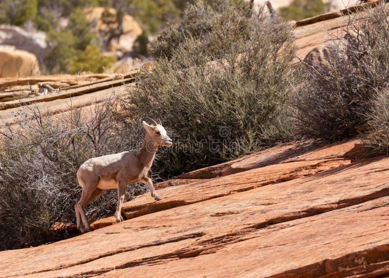 Una oveja de cuernos grande del desierto joven sube una cuesta del slickrock en el parque nacional Utah de Zion fotos de archivo libres de regalías