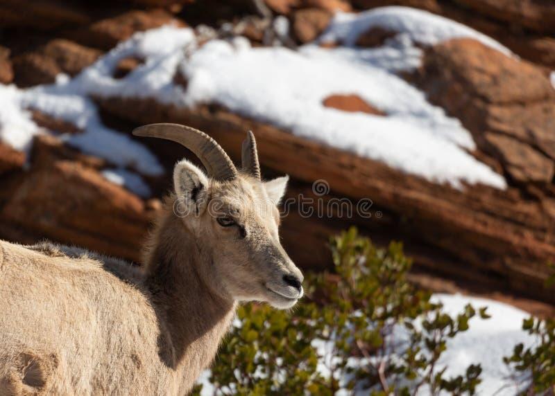 Una oveja de cuernos grande del desierto mira hacia fuera para arriba encendido de una repisa de la piedra arenisca roja en un dí imagen de archivo libre de regalías