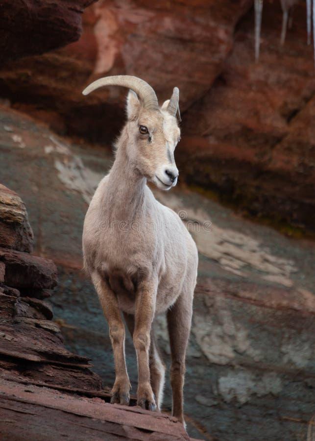 Una oveja de cuernos grande de las ovejas del desierto se coloca en una repisa de la piedra arenisca que mira abajo y a la izquie imágenes de archivo libres de regalías