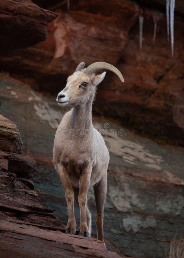 Una oveja de cuernos grande de las ovejas del desierto se coloca en una repisa de un acantilado de la piedra arenisca roja con lo fotos de archivo